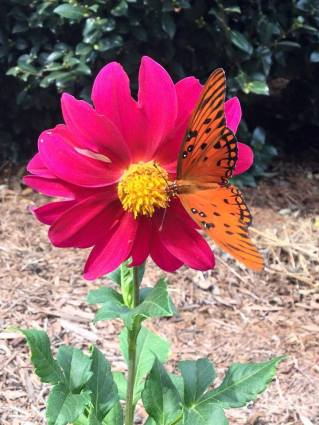 magenta dahlia with butterfly